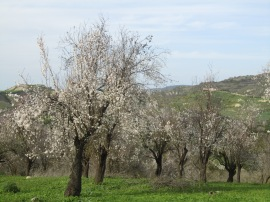 Almond Blossom - early February