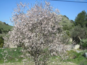 Almond tree outside Tsangarides Winery