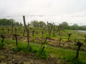Rows of vines at Chateau Tour des Gendres where organic practices are followed