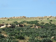 Goats grazing in Cyprus