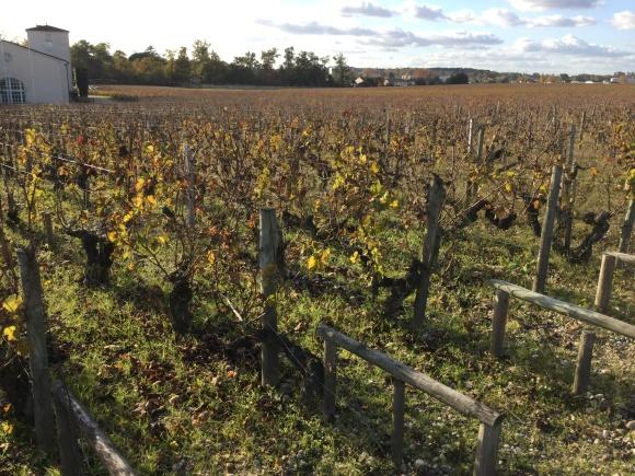 November scene, vines at Chateau Haut-Brion