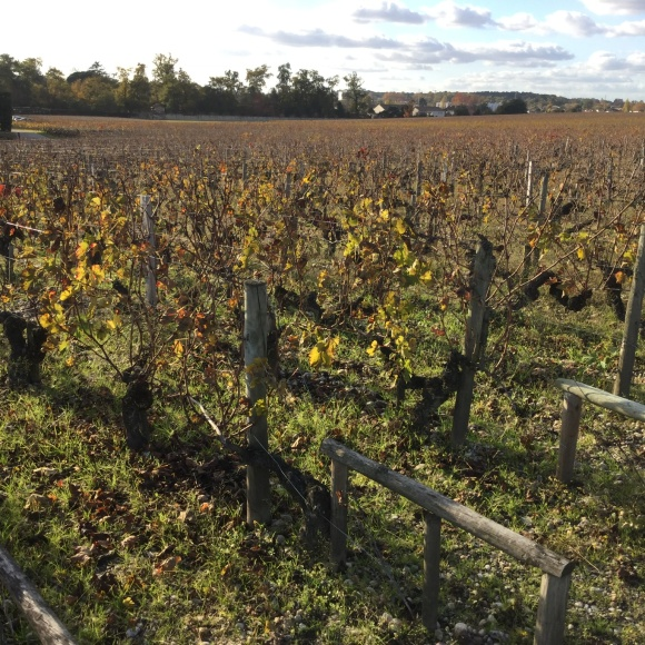 November scene, vines at Chateau Haut-Brion