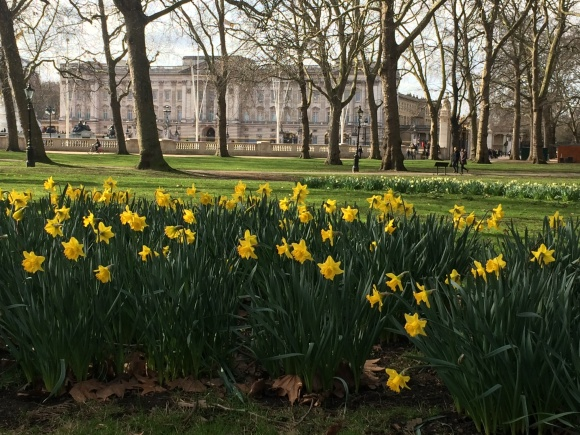 Daffodils in Green Park with Buckingham Palace beyond