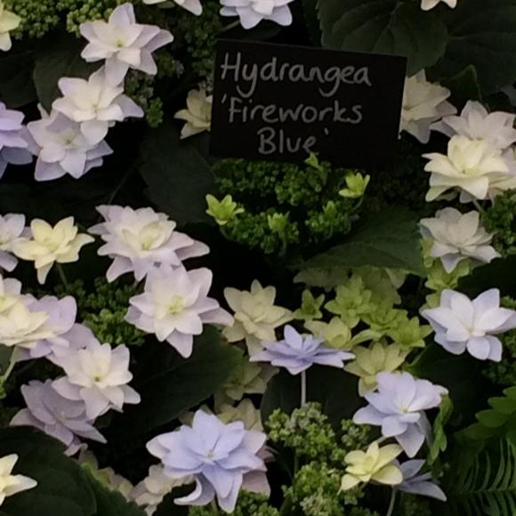 Hydrangea Fireworks Blue - Great Pavilion