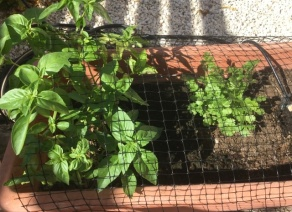 Basil and Cilantro (Coriander) growing up a storm and protected from local cat!